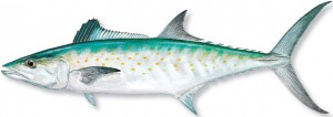 SPANISH-MACKERAL